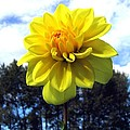 Painted Yellow Dahlia by Will Borden