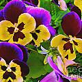 Painterly Purple Pansy by Peter Piatt