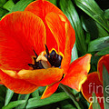 Painterly Red Tulips by Andee Design