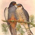 Pair Amur Falcons by Vintage File Collection