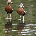 Pair Black-bellied Whistling-ducks by Gary Langley
