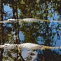 Pair Of American Alligators by Rudy Umans