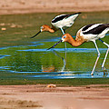 Pair Of American Avocets by Davids Digits