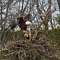 Pair Of Bald Eagles At Their Nest by MTBobbins Photography