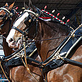 Pair Of Budweiser Clydesdale Horses In Harness Usa Rodeo by Sally Rockefeller