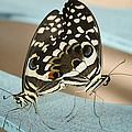 Pair Of Citrus Swallowtail Butterflies  by Saija  Lehtonen
