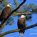 Pair Of Eagles by Larry Ricker