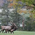 Pair Of Elk Bulls by Robert Camp
