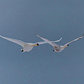 Pair Of Flying Swans Against A Blue Sky by Ray Sheley