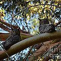 Pair Of Great Horned Owls by Afroditi Katsikis