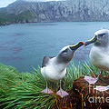 Pair Of Grey-headed Albatross by Art Wolfe