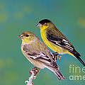 Pair Of Lesser Goldfinches by Anthony Mercieca