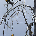 Pair Of Male Yellow-headed Blackbird   #9521 by J L Woody Wooden