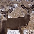 Pair Of Mule Deer   #7584 by J L Woody Wooden