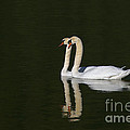 Pair Of Mute Swans by Sharon Talson