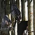 Pair Of Owls by Linda Kerkau