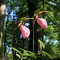Pair Of Pink Lady Slippers  by Neal Eslinger