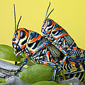 Pair Of Rainbow Grasshoppers On Ocotillo by Robert Jensen
