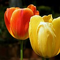 Pair Of Red And Yellow Tulips by Cheryl Hardt Art