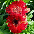 Pair Of Red Gerber Daisy Flowers With Ladybug by Amy McDaniel