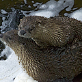 Pair Of River Otters   #1266 by J L Woody Wooden