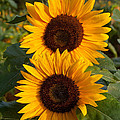 Pair Of Sunflowers by Valerie Ryan