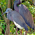 Pair Of Tricolored Heron At Nest by Millard H. Sharp