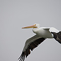 Palacios Texas White Pelican Gliding by JG Thompson