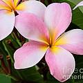 Palacious Pink Plumeria by Sabrina L Ryan