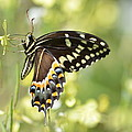 Palamedes Swallowtail 2 by Kathy Gibbons