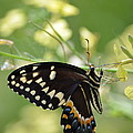 Palamedes Swallowtail by Kathy Gibbons