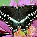 Palamedes Swallowtail Papilio Palamedes by Millard H. Sharp