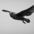 pale phase south polar skua catharacta maccormicki in flight Antarctica by Joe Fox