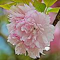 Pale Pink Blossoms by Linda Brown