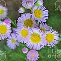 Pale Pink Fleabane Blooms With Decorations by Debbie Portwood