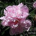 Pale Pink Peony Watercolor Effect by Laurie Eve Loftin