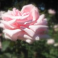 Pale Pink Rose I by Jacqueline Russell