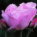 Pale Pink Rose by John Topman