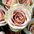 Pale Pink Roses by Kathy Yates