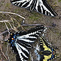 Pale Swallowtails And Western Tiger Swallowtail Butterflies by Karon Melillo DeVega