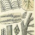 Paleozoic Flora, Calamites, Illustration by British Library