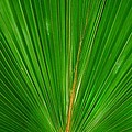 Palm Closeup by Linda Covino