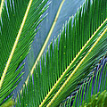 Palm Cycas Fronds by Karen Adams