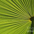 Palm Fron Abstract by Sabrina L Ryan