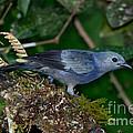 Palm Tanager by Anthony Mercieca
