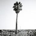 Palm Tree And Graffiti by Shaun Higson
