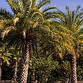 Palm Tree by Zina Stromberg