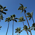 Palm Trees Against A Clear Blue Sky by Stocktrek Images