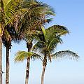 Palm Trees At The Jupiter Inlet by Sabrina L Ryan