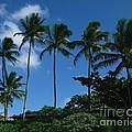 Palm Trees In Hawaii by Marsha Heiken
